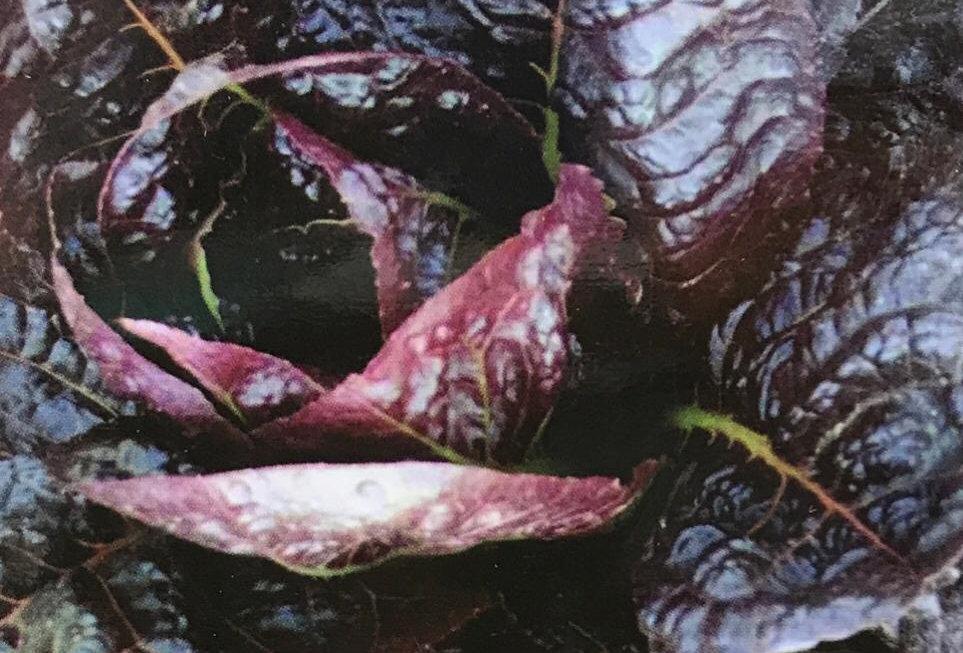 SC148- Vegetable Seed    Garden Lettuce