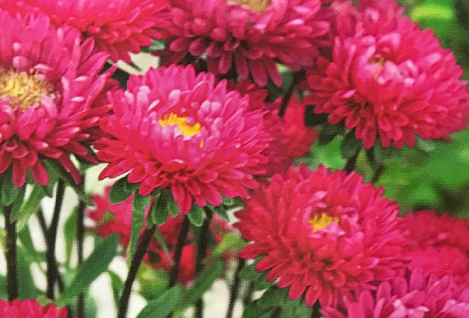 FA229 - Flower Seed  Aster