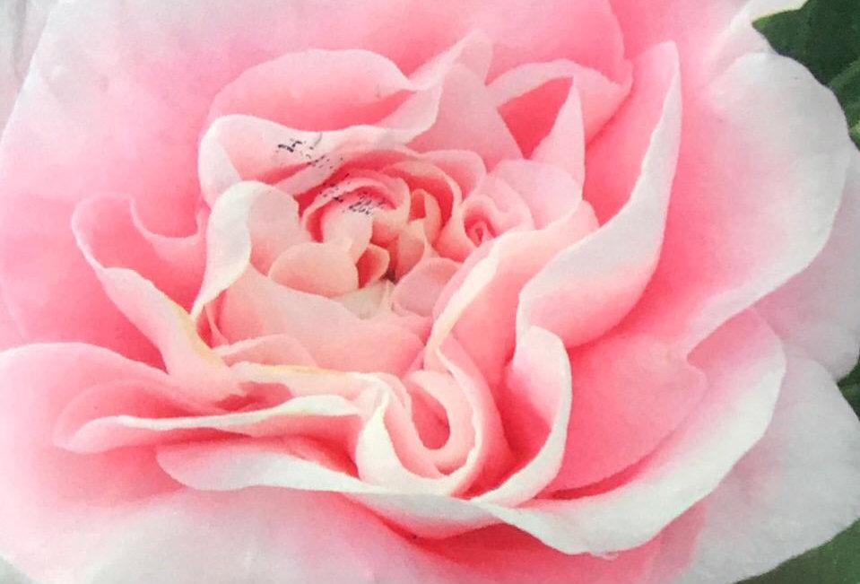 FA006 - Flower Seed  Pink Garden Balsam