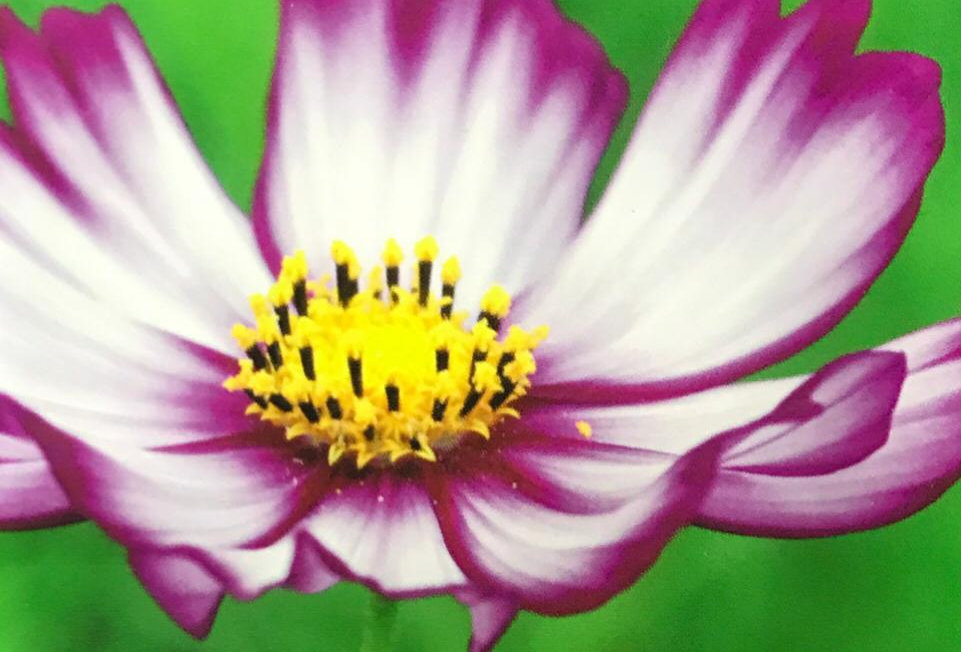 FA180 - Flower Seed   Common Cosmos