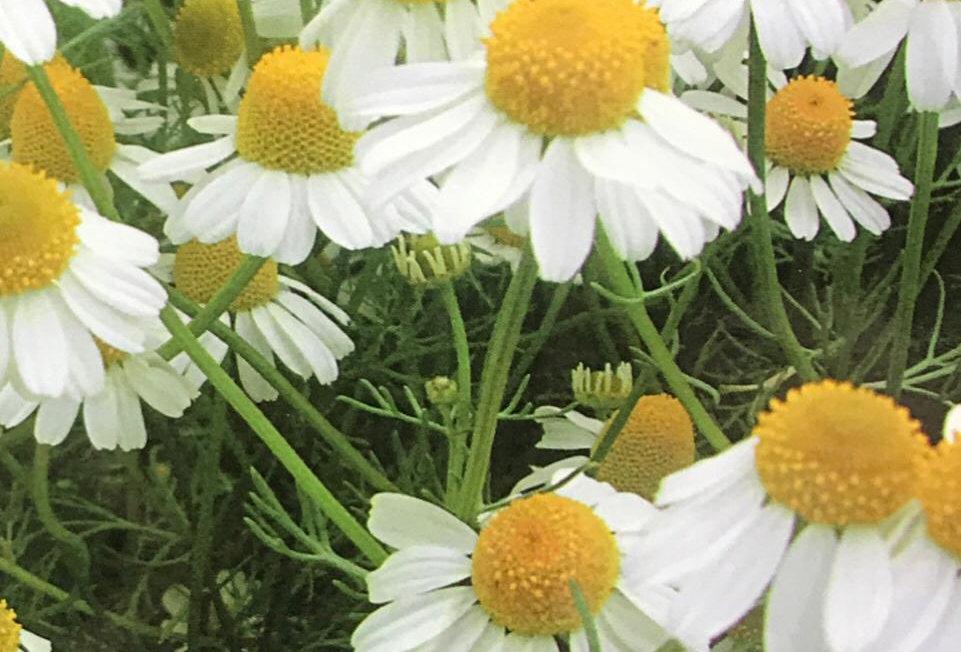 FD002 - Flower Seed     Chamomile