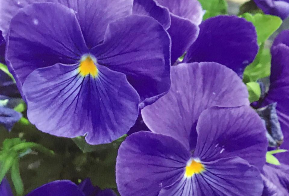 FA260 - Flower Seed   Pansy