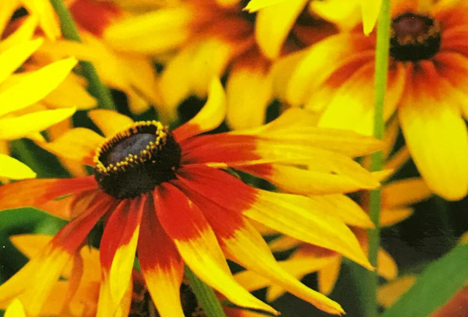 FA112 - Flower Seed   Cutleaf Coneflower