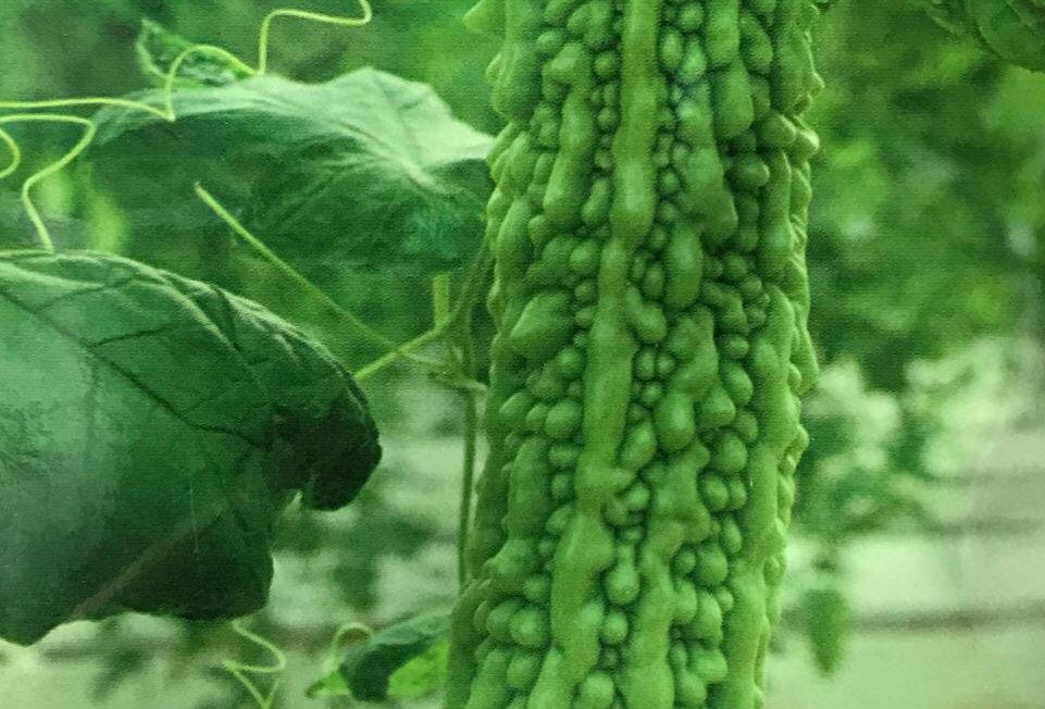 SC052 - Vegetable Seed  Balsampear
