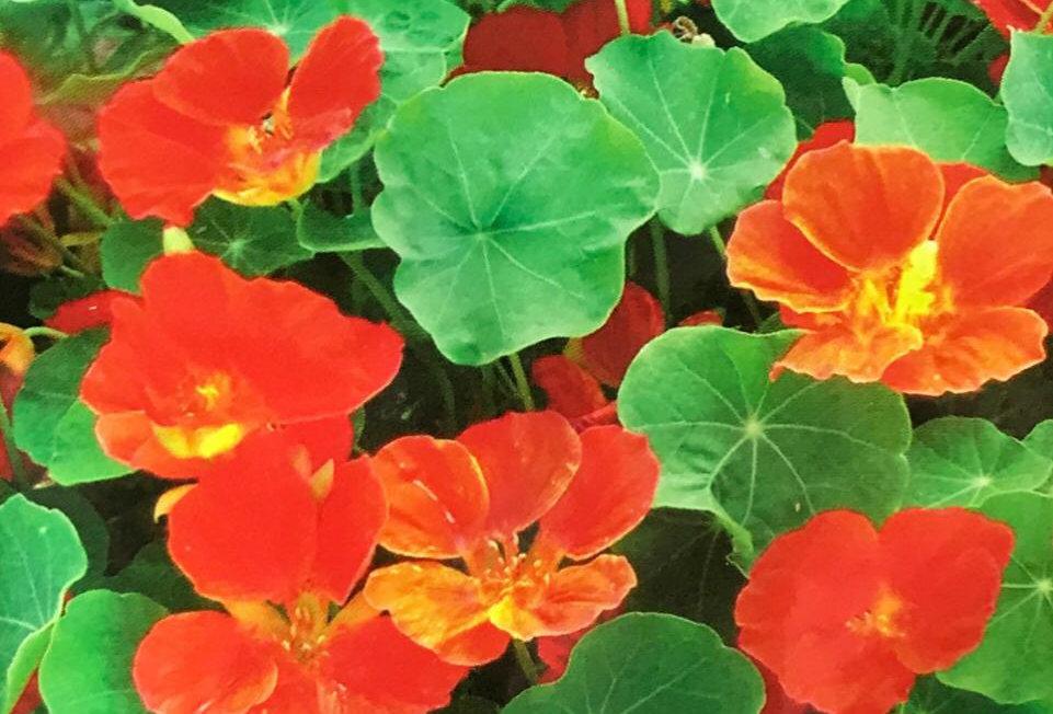 FG002 - Flower Seed     Semi-Trailing Garden Nasturtium
