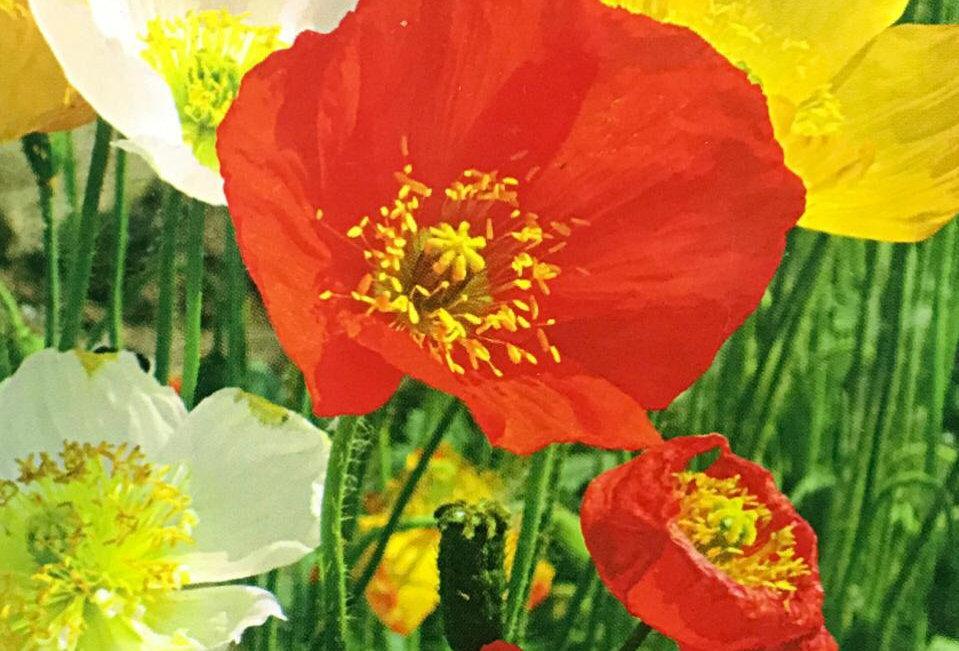 FA098 - Flower Seed   Corn Poppy