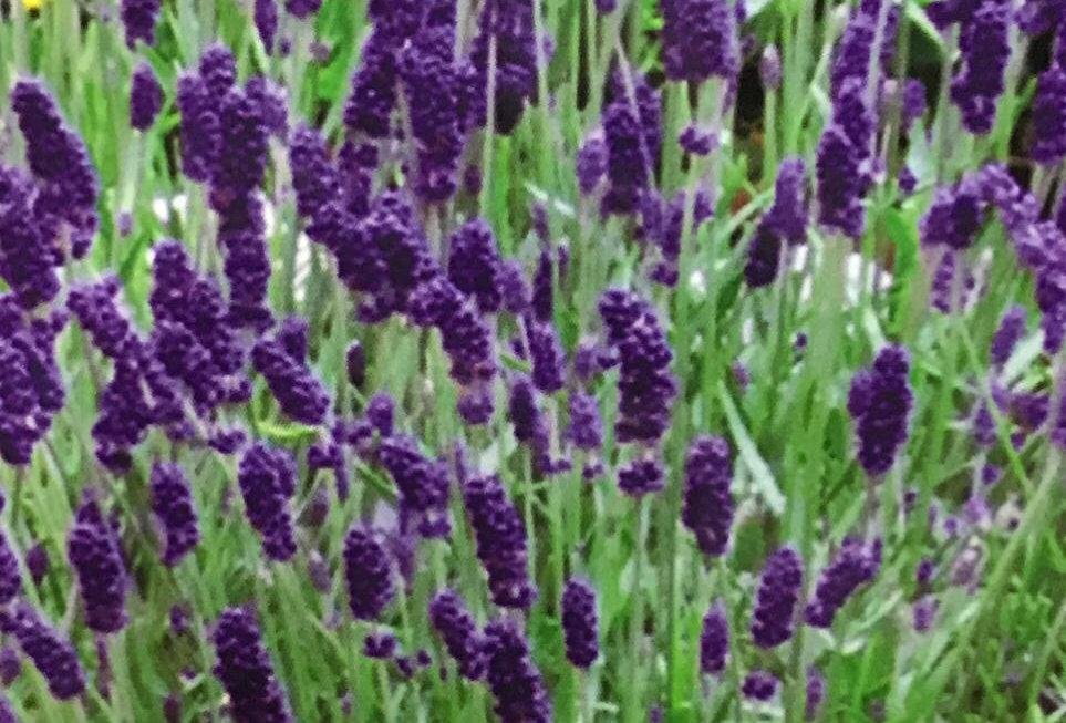 FD035 - Flower Seed   Lavender Girl