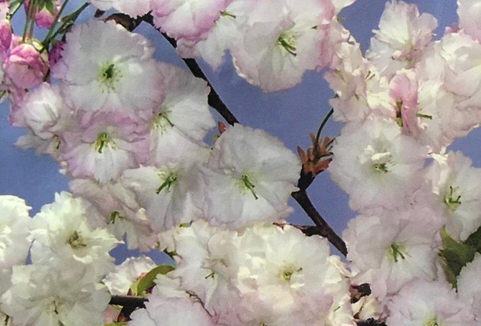 FS937 - Flower Seed Sakura