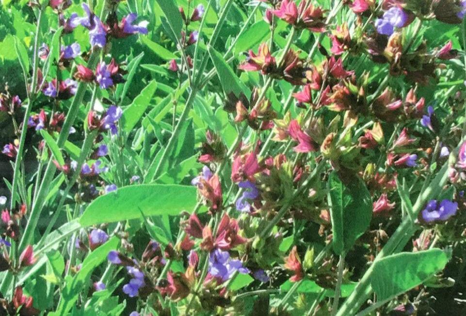 FE003 - Flower Seed   Danshen