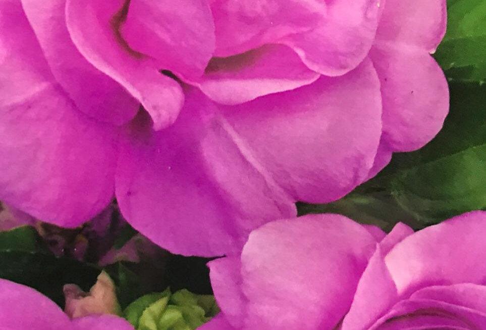 FA143 - Flower Seed   Garden Balsam