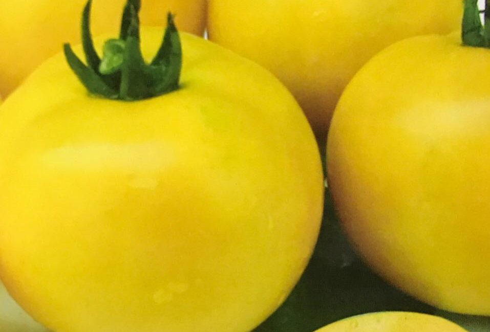 SC093- Vegetable Seed  Tomato