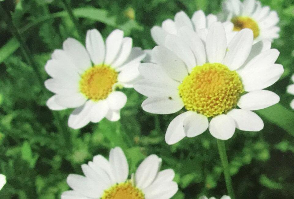 FA048 - Flower Seed  White Daisy