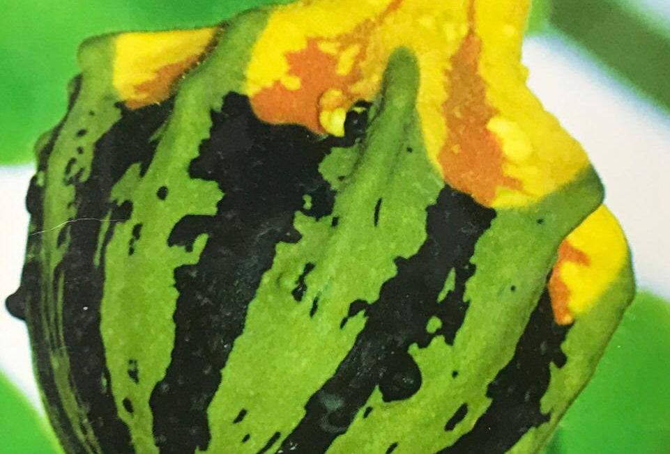 SB089- Vegetable Seed  Pumpkin