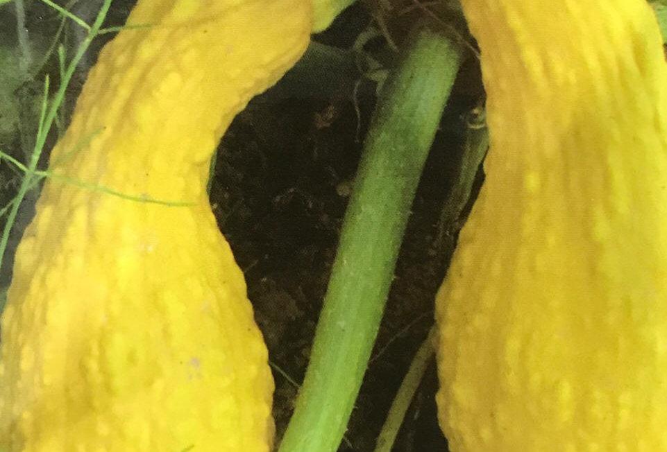 SB018 - Vegetable Seed   Cucurbita