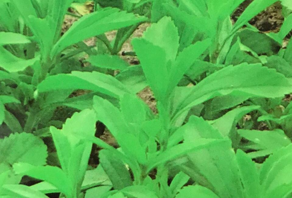 SD050 - Vegetable Seed  Sugar Stevia Leaf