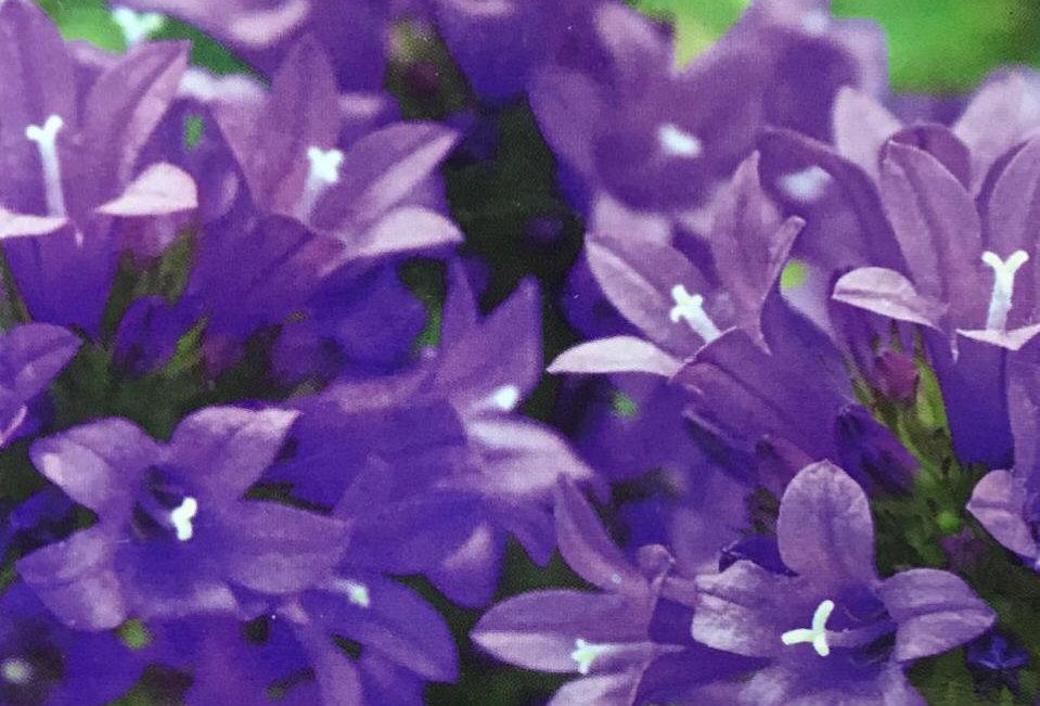 FA254 - Flower Seed   Bellflower