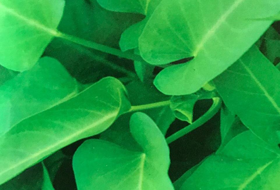 SC015 - Vegetable Seed   Swamp Morningglory