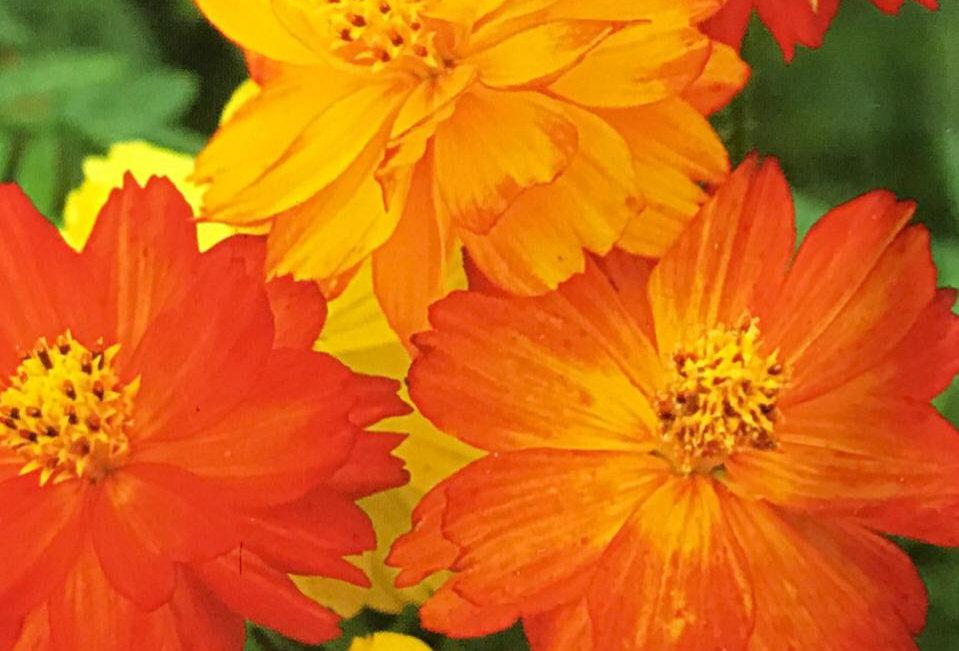 FA095 - Flower Seed   Cosmos