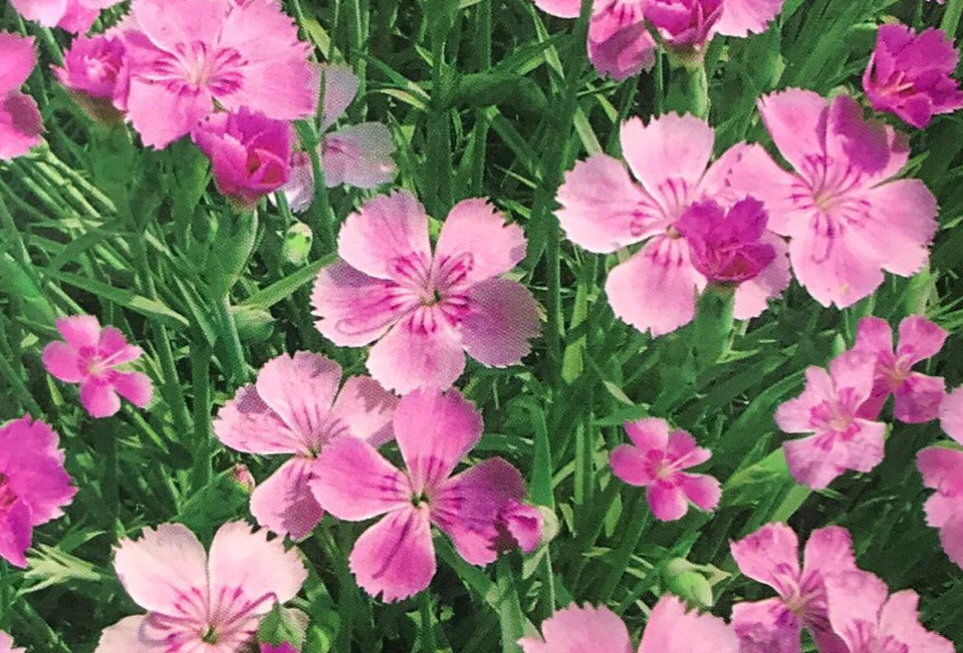 FA116 - Flower Seed   Cottage Pink