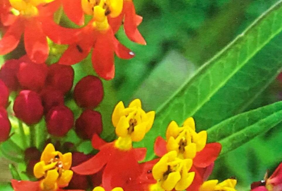 FA235 - Flower Seed   Prettiest Caesalpinia