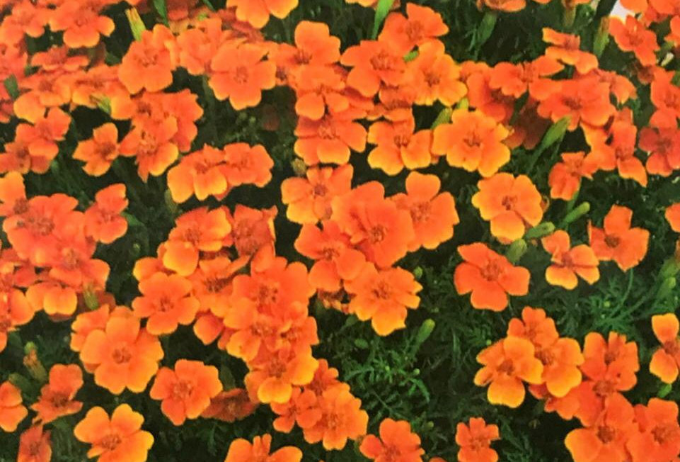 FA021 - Flower Seed  French Marigold