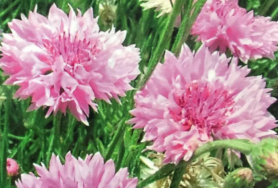 FA057 - Flower Seed   Pink Cornflower