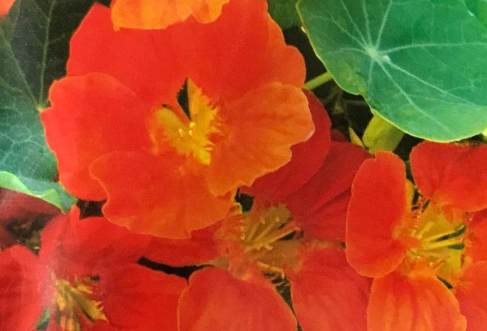 FA017 - Flower Seed  Garden Nasturtium