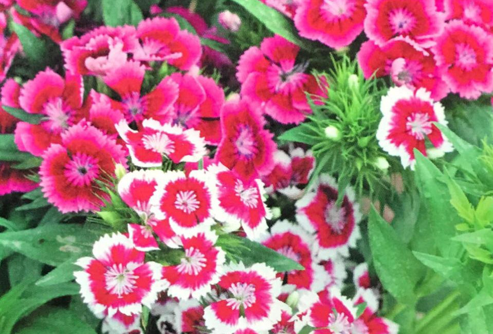 FA103 - Flower Seed   Pink