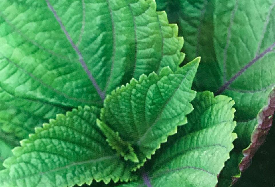 SD023 - Vegetable Seed   Crisped Common Perilla