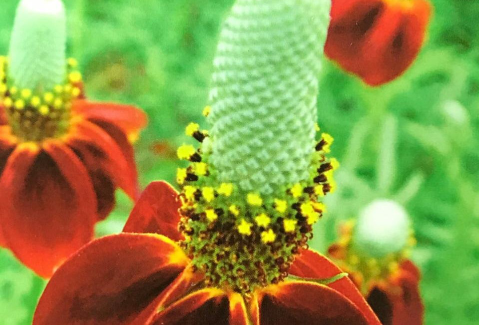 FA084 - Flower Seed   Prairie Coneflower