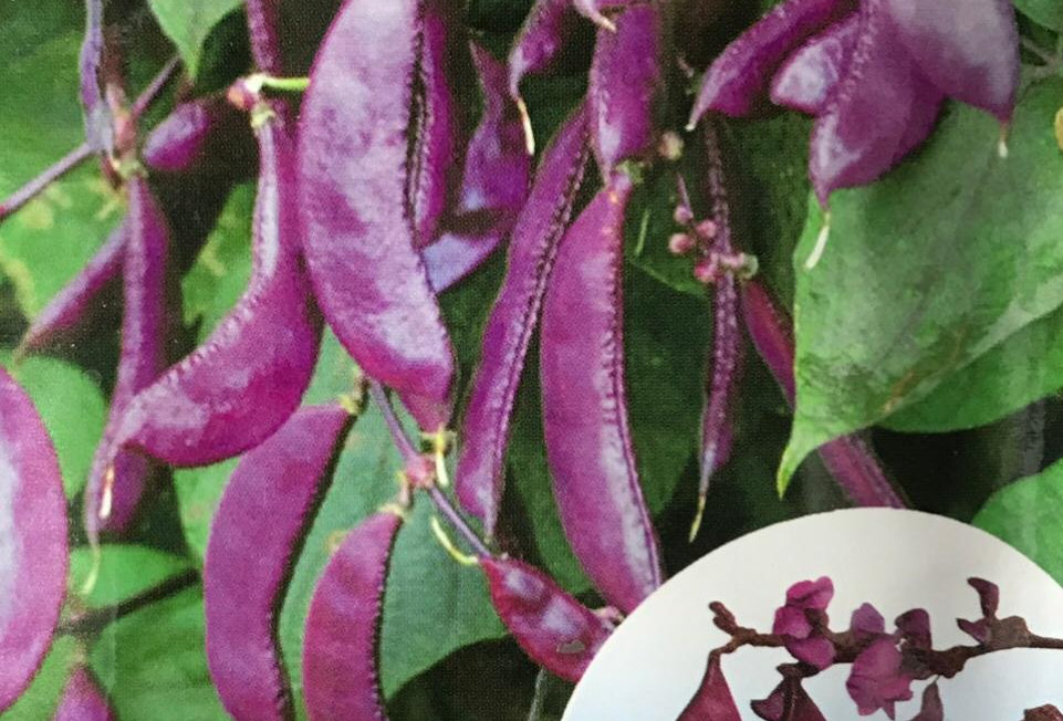 SC138- Vegetable Seed    Purple Haricot