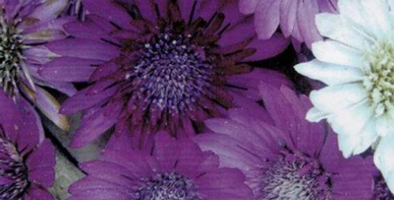 Flower seeds-SA129