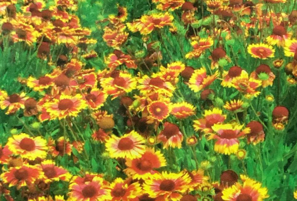 FA300 - Flower Seed   Indian Blanket