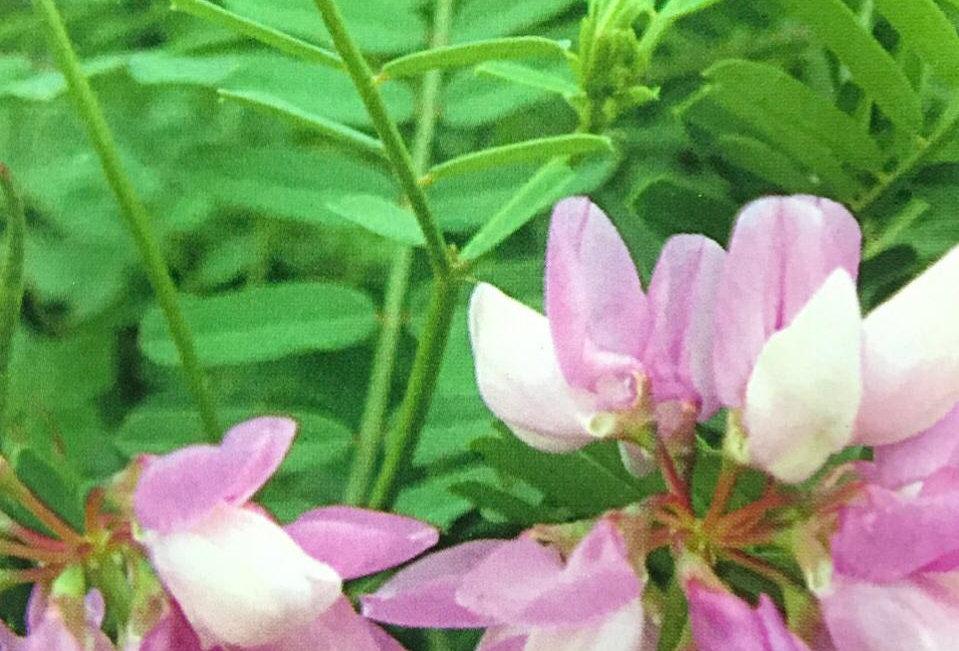 FA086 - Flower Seed   Scorpionsenna