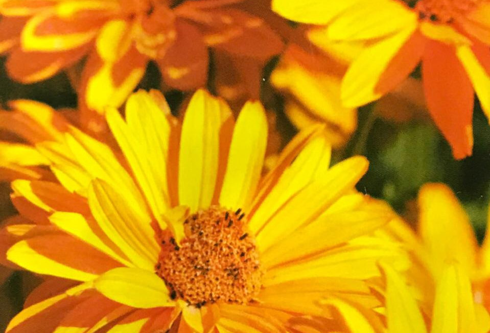 FA085 - Flower Seed   Sunflower Heliopsis
