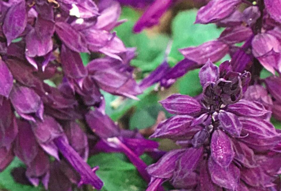 FA208 - Flower Seed   Sage