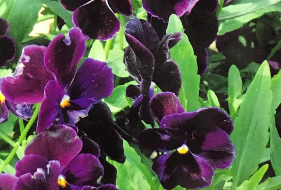 FA262 - Flower Seed   Pansy