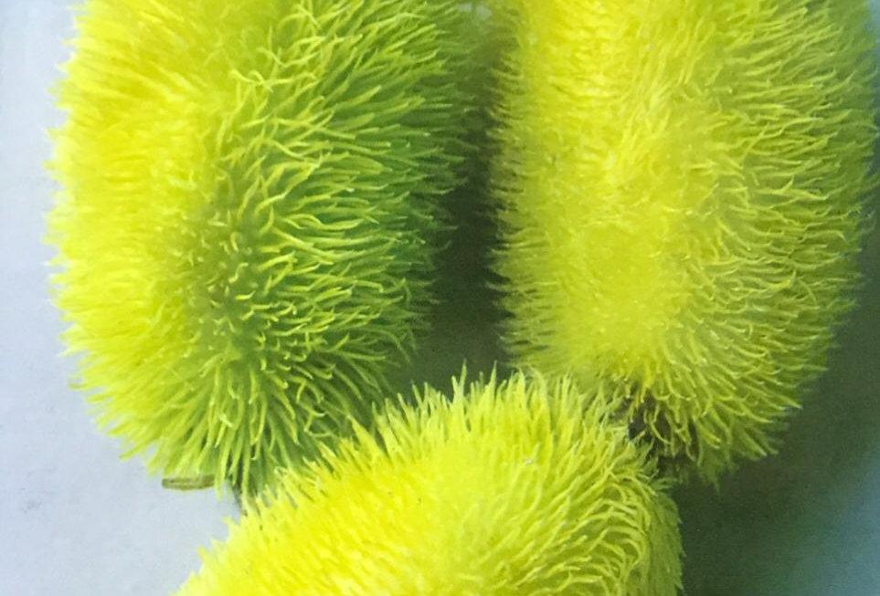SB085- Vegetable Seed  Decorative Cucumbers