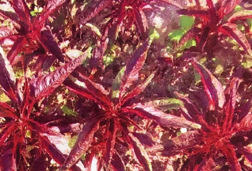 SC157- Vegetable Seed   Edible Amaranth