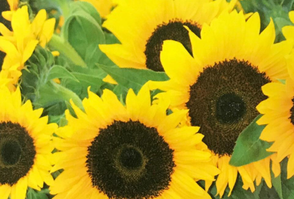 FJ002 - Flower Seed     Cut-Flower Sunflower