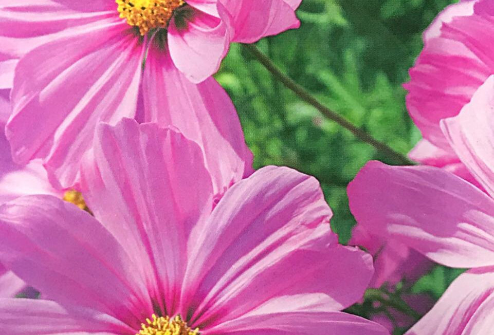 FA177 - Flower Seed   Pink Common Cosmos