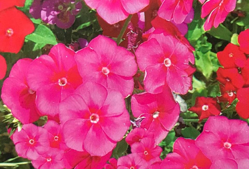 FA209 - Flower Seed   Phlox