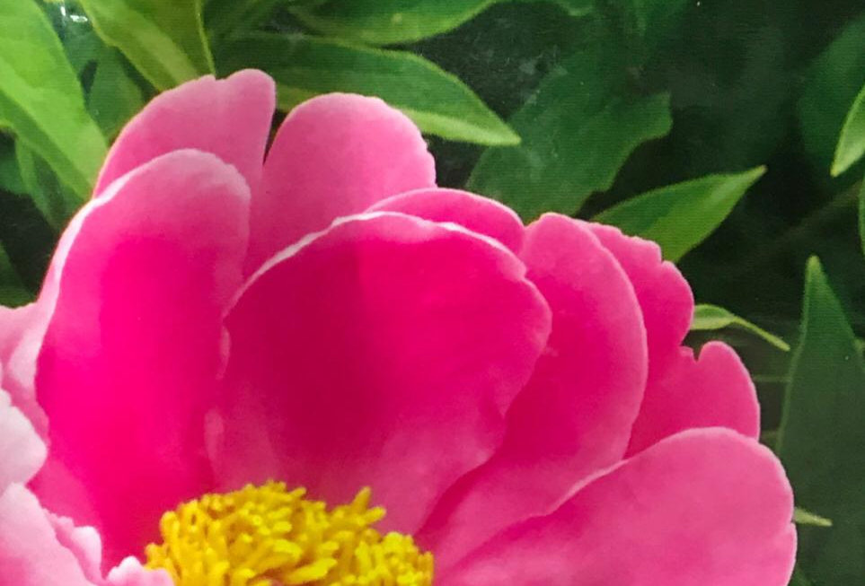 FA155 - Flower Seed   Herbaceous Peony