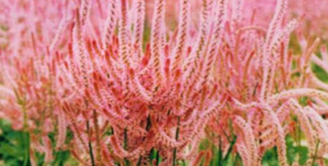 Flower seeds-SA104