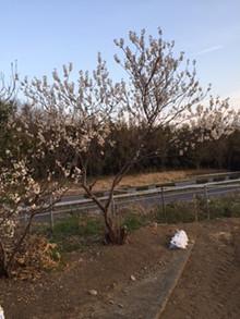 さくらんぼの花満開