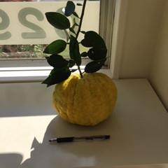 獅子柚子をいただきました