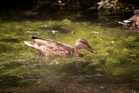 Schwimmende Ente im Wasser