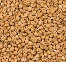 0300 Crisp Torrefied Wheat.jpg