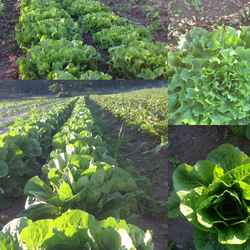 lettuce vs escarole