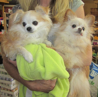 Two Papi-pom dogs after grooming